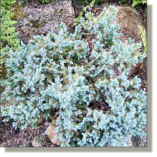 2009.05.14 - Blue Star Juniper