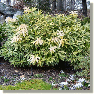 2009.04.28 - Brouwer's Beauty Pieris