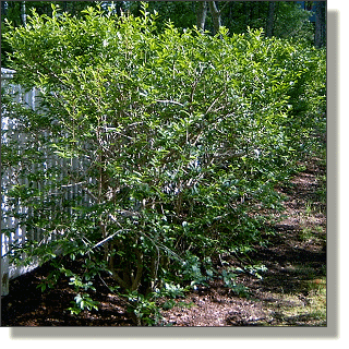 2009.05.18 - Common Privet