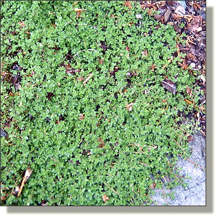 2009.05.14 - Compact Thyme