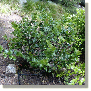 2009.05.26 - European Holly