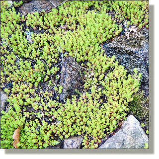 2009.05.14 - Golden Moss Sedum