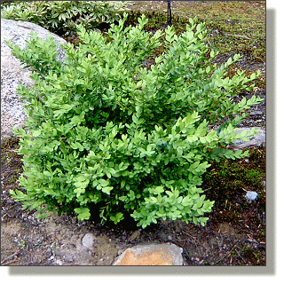 2009.05.14 - Green Mountain Boxwood