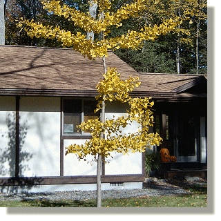 2009.10.26 - Maidenhair Tree