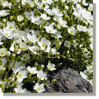 2009.07.14 - Mountain Sandwort
