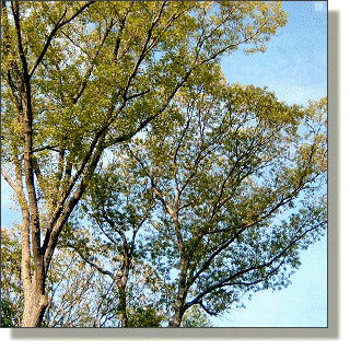 2009.05.18 - Northern Red Oak