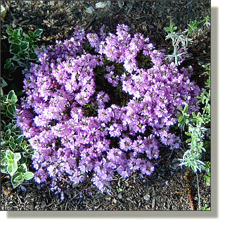 2009.05.18 - Red Creeping Thyme