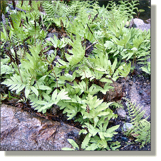 2009.05.14 - Sensitive Fern