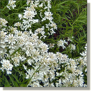 2009.05.14 - Snow White Candytuft