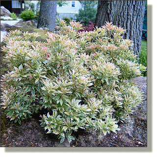2009.05.14 - Variegated Japanese Pieris