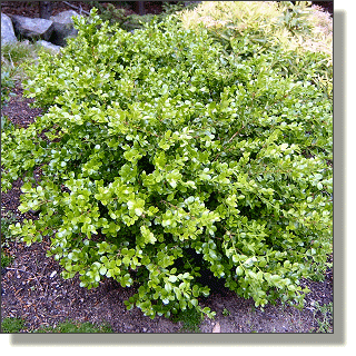 2009.05.14 - Winter Gem Boxwood